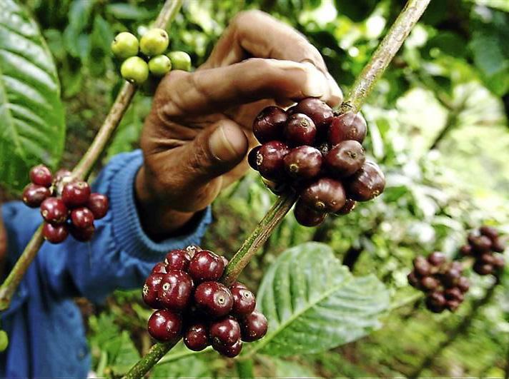 coffee-grow07