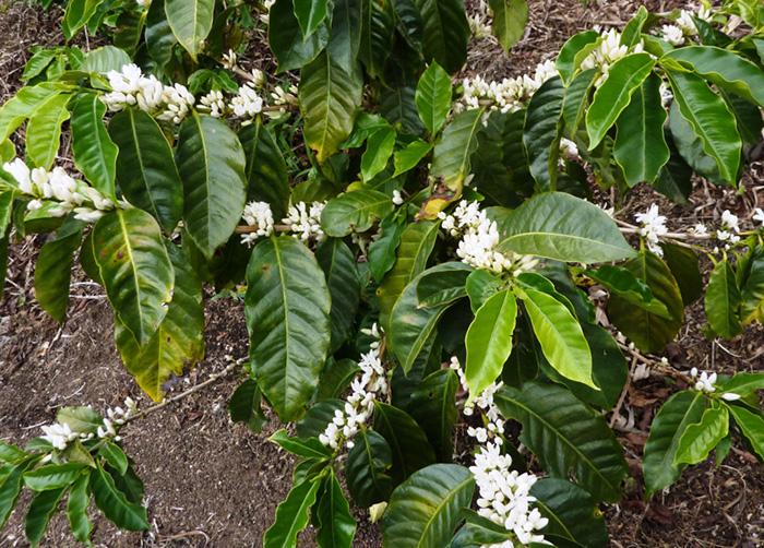 coffee-grow09