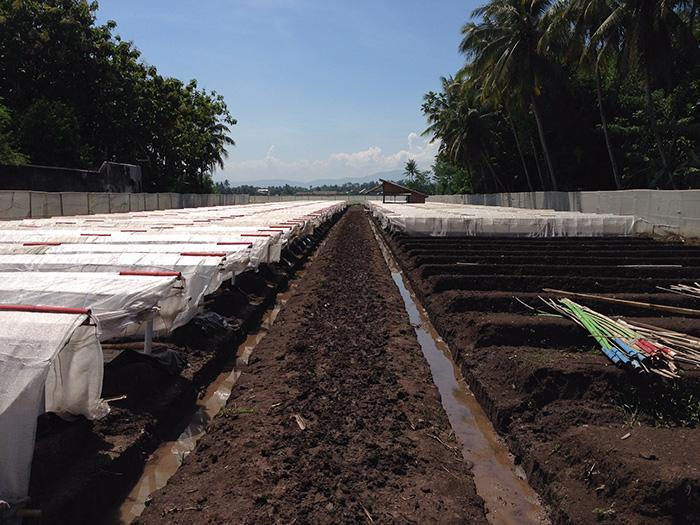 ジャワ島のタバコ農園を視察しました(ジャワ葉)