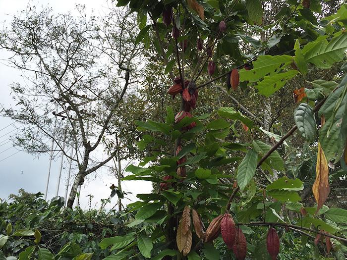 コーヒー農園を視察しました『アチェ州タケンゴン地区』